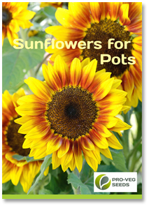 Pot Sunflowers
